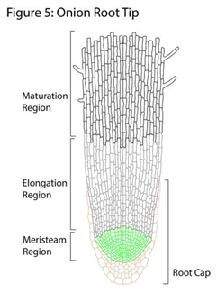 onion root cell diagram labeled